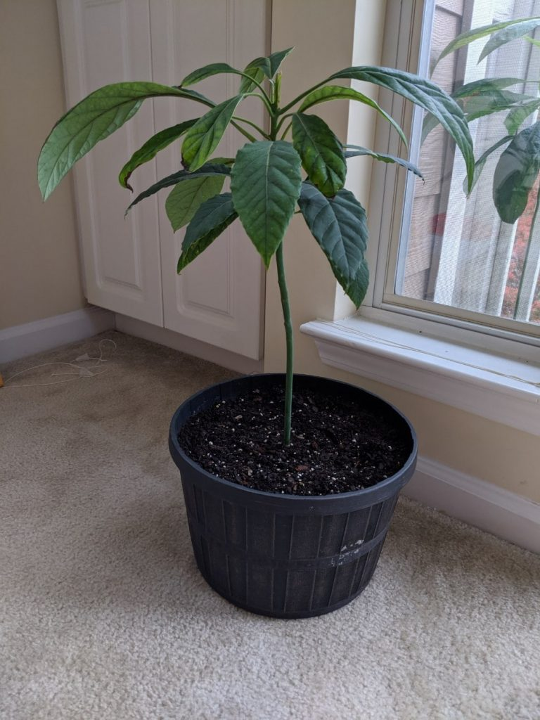 INFP hobbies how to grow an avocado